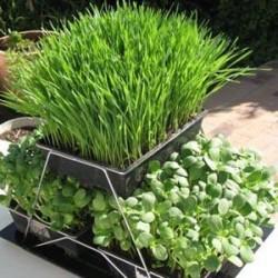 Indoor Wheatgrass Growing kit